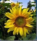 Sunflower Clinic Australia Adelaide